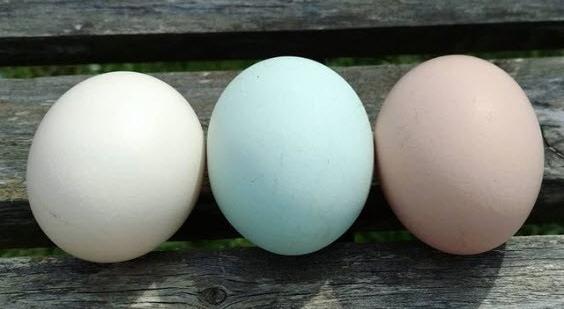 Morwen egg